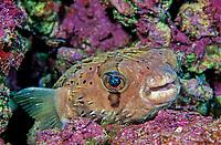 Balloonfish, Diodon holocanthus, Class Actinopterygii, Order Tetraodontiformes, Family Diodontidae, Las Animas, Sea of Cortez, Mexico, Circumtropical