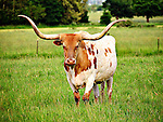 This longhorn bull kept a careful eye on me as I stopped my car to photograph him!
