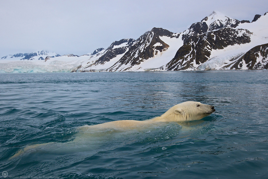 Polar bear swimming back to shore after raiding  a bird island in Smeerenburgfjorden, Spitsbergen, Svalbard.