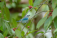 A Blue-gray Tanager, Thraupis episcopus, feeding on berries in the rainforest; La Selva, Costa Rica