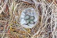 American tree sparrow nest, lined with ptarmigan feathers, Gates of the Arctic National Park, Alaska.