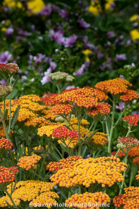Achillea millefolium 'Terra Cotta' in perennial pollinator garden