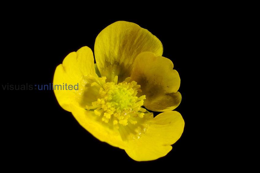 Meadow Buttercup flower (Ranunculus acris)