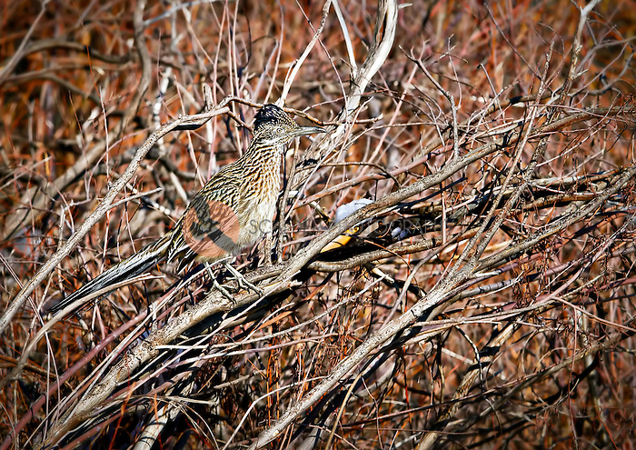 Greater Roadrunner perched in tree after snow in Bosque del Apache