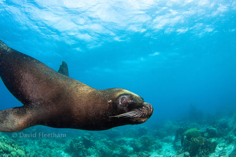This South American sea lion or Southern sea lion, Otaria flavescens, seems out of place on a Caribbean reef.  It is a resident of the Sea Aquarium on the island of Curacao in the Caribbean.