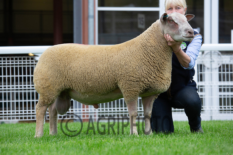 N.S.A Wales & Border Ram Sales, Royal Welsh Showground<br /> Lot 3898 owned by Mrs J Curtis sold for 3000gns<br /> ©Tim Scrivener Photographer 07850 303986<br />      ....Covering Agriculture In The UK....
