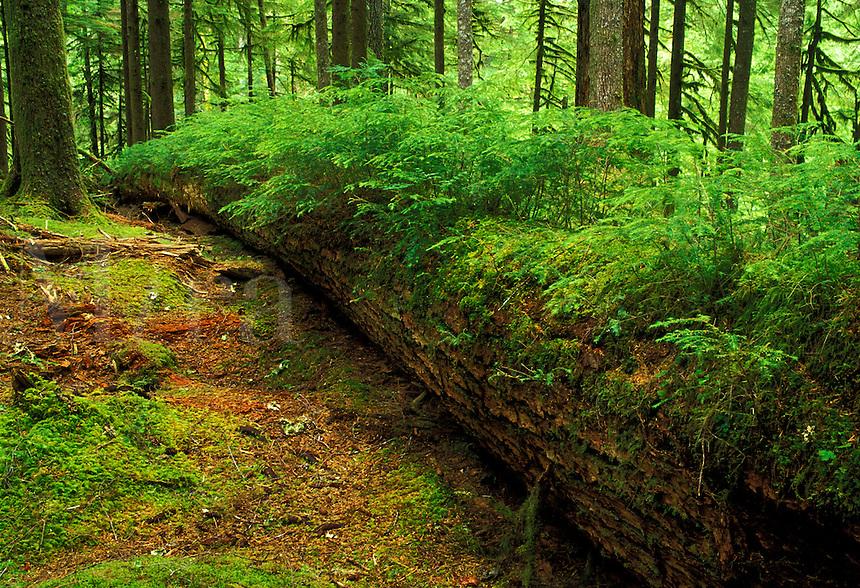 Nurse log, Soleduck River valley, Olympic National Park, Washington