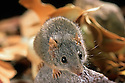 Yellow-footed Antechinus (Antechinus flavipes) northeastern NSW