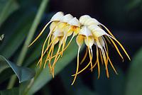Masdevallia tridens orchid species