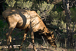 ELK COW GRAZING in the forests surrounding the GRAND CANYON<br /> <br /> The elk or wapiti (Cervus canadensis) is one of the largest species of deer in the world, and one of the largest land mammals in North America and eastern Asia<br /> (1)