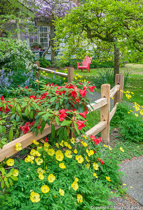 Vashon Island, WA: Red blossoming rhododendron accented with yellow poppies next to a split rail fence in a spring garden with red adirondack chair in the background.