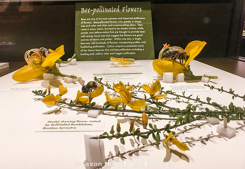 Buff-tailed Bumblebee (Bombus terrestris) in Glass Flowers Exhibit Harvard Museum of Natural History