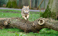 BNPS.co.uk (01202 558833)<br /> Pic: CalebHall/Longleat/BNPS<br /> <br /> A wolf leaping a fallen tree at Longleat. <br /> <br /> Longleat Safari Park has been showing the public what they've been missing during the lockdown by releasing a candid collection of pictures of their famous collection of big cats.<br /> <br /> The Wiltshire park is currently closed to the public due to COVID-19 but has been giving animal lovers an insight into the animals.<br /> <br /> They have snapped the iconic lions in a number of spots around their enclosure as well as a series of photographs of their tigers.