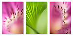 Close-up photographic triptych of a alstroemeria flower and foliage. Images not on website.