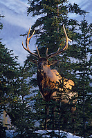 Rocky Mountain Bull Elk (Cervus elaphus) in late fall.  Northern Rockies.