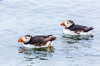 Atlantic puffin, or common puffin, Fratercula arctica, Flatey, Westfjords, or West Fjords, Iceland, Arctic Ocean