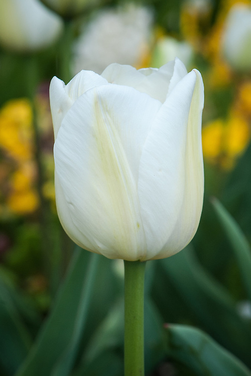 Tulip 'Clearwater', mid April. Single Late Group.