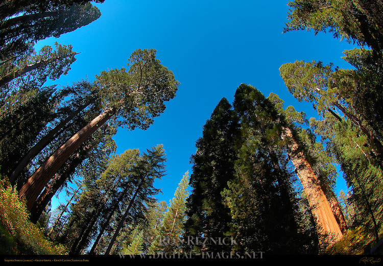 Sequoia Forest, Fisheye, Giant Sequoia, Sequoiadendron giganteum, Grant Grove in Autumn, King's Canyon National Park