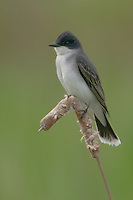 Eastern Kingbird (Tyrannus tyrannus) perching on cattail