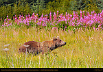 Alaskan Coastal Brown Bear in Sedge Grass with Fireweed, Silver Salmon Creek, Lake Clark National Park, Alaska