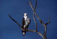 The majestic Australian Seaeagle, in Kakadu National Park