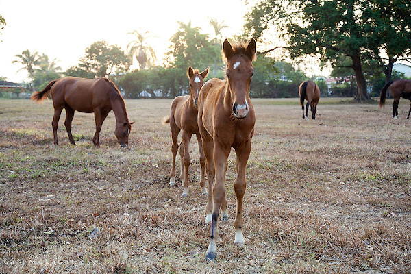 Young chestnut foals and their mares at a racehorse farm in Mausica