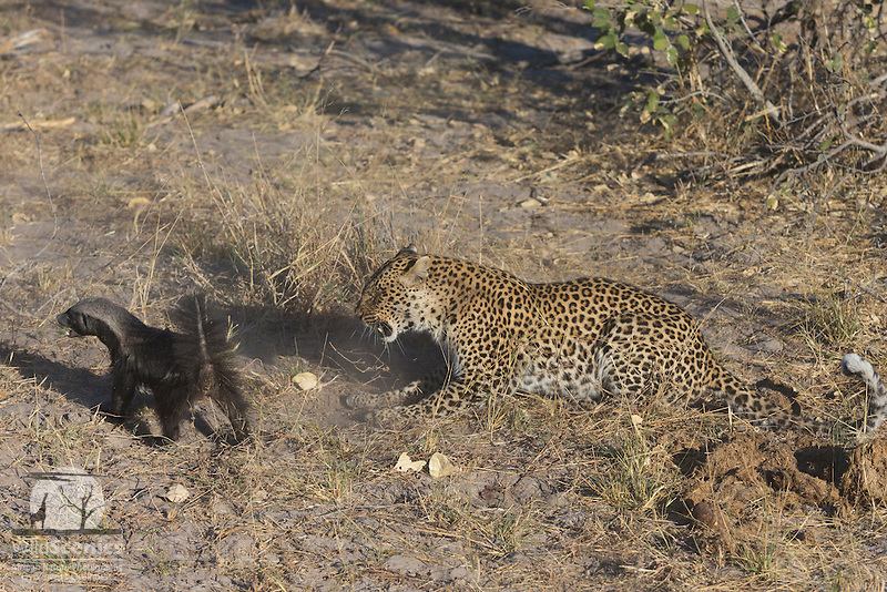 Female leopard fighting with a honey badger