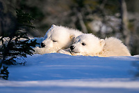 Polar Bear cubs snuggled and resting on mothers body, Ursus maritimus, taiga, Churchill, Manitoba, Hudson Bay, Canada, polar bear, Ursus maritimus