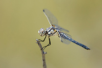 389270004 a wild female bleached skimmer libellula composita perches on a dead twig at blackrock springs inyo county california