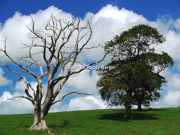 Large leafless dead tree with healthy tree,Trawscoed,nr Llanafan,Ceredigion,West Wales. The Parklands of the Trawscoed Estate are listed and Aberystwyth University run a farm on these lands.<br />