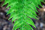 Dryopteris arguta, (Common name: southern wood fern), at the Santa Barbara Botanic Garden; Santa Barbara; Santa Barbara County; California; CA; USA