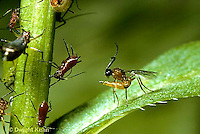 1W16-036z   Parasitic Wasp -  Braconid Wasp -  laying egg in an aphid, Aphidius sp.