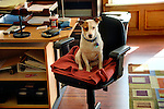 Emma the office dog. Jack Russell Terrier.