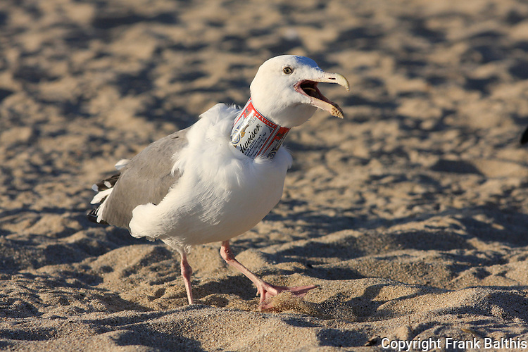 Western gull with Bud can on neck vocalizing