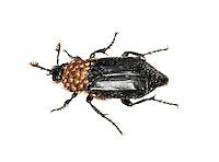 Black Sexton Beetle - Nicrophorus humator