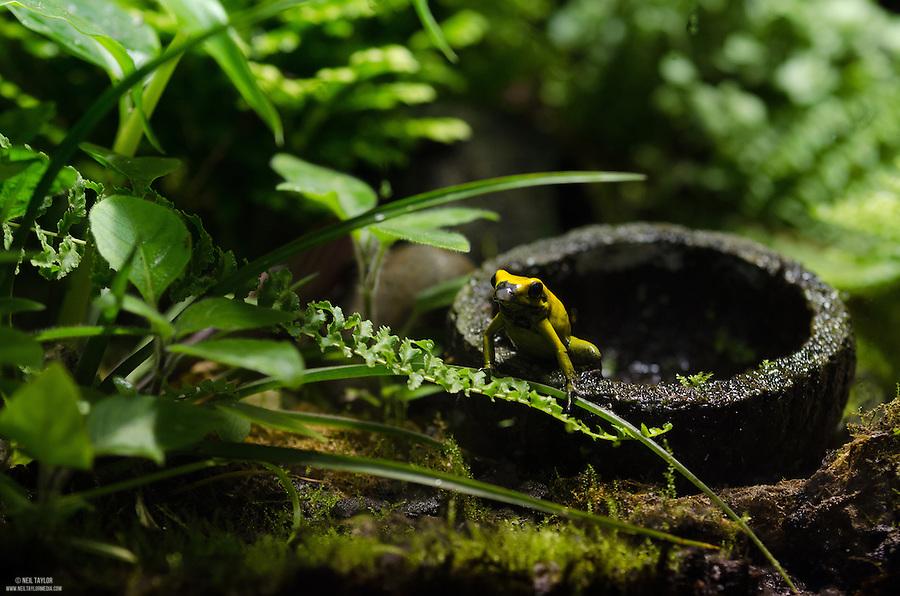 Captive Black-legged poison frog {Phyllobates bicolor}