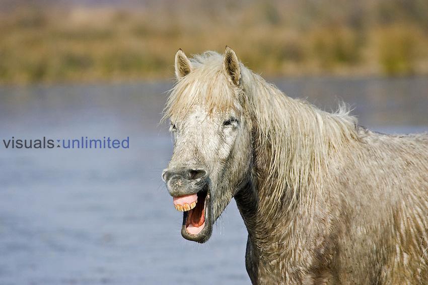 Camargue Horse, France