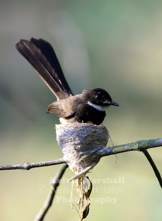 Pied Fantails (Rhipidura javanica) are named for their habit of fanning out their beautiful long tails. It has been suggested that by revealing the white tips of the tail, insects are startled into movement. <br />