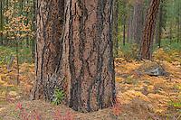 Ponderosa Pine trees, Oregon