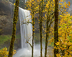 Silver Falls State Park, OR: Big leaf maples (Acer macrophyllum) in fall with South Falls in the background