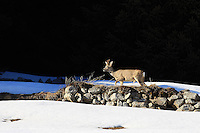 Male roe deer standing in the snow on a natural rock wall in front of a dark wood