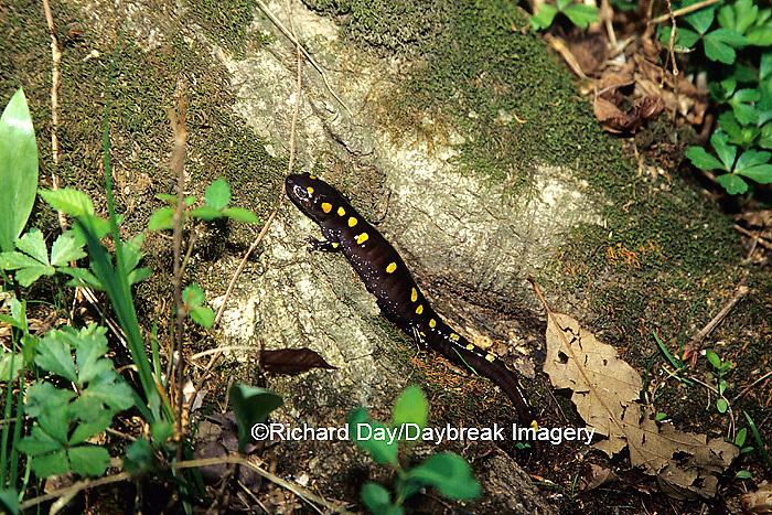 02277-00114 Spotted Salamander (Ambystoma maculatum) Heron Pond, Cache River SNA, IL