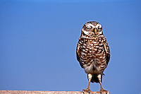 Burrowing owl, Athene cunicularia, standin with eyes closed