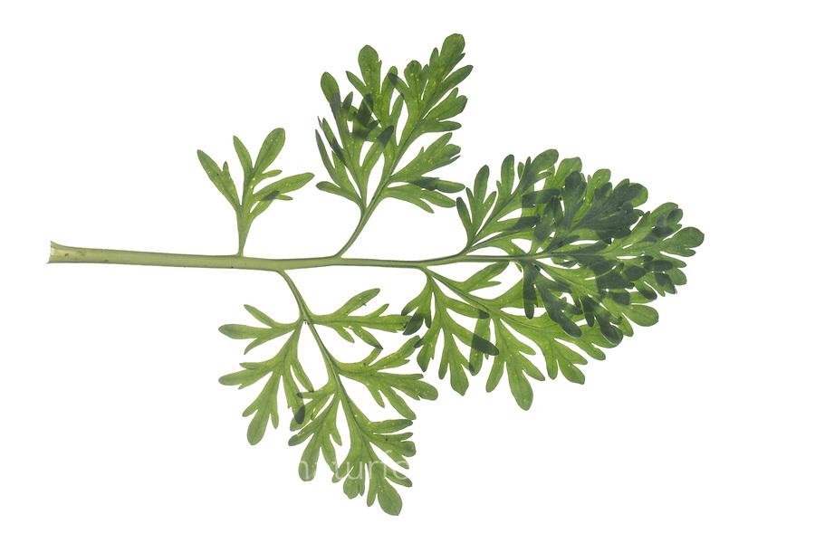 Wermut, Gemeiner Wermut, Echter Wermut, Echt-Wermut, Wermutkraut, Absinth, Artemisia absinthium, absinthium, absinthe, absinthe wormwood, wormwood, common wormwood, green ginger, grand wormwood, L'absinthe. Blatt, Blätter, leaf, leaves