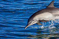Long-beaked Common Dolphin (Delphinus capensis) encountered off Isla Espiritu Santo in the southern Gulf of California (Sea of Cortez), Baja California Sur, Mexico.