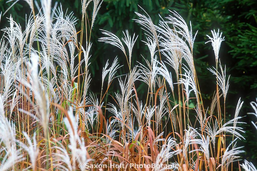 Miscanthus sacchariflorus, Amur silver-grass, white flowering grass in autumn garden