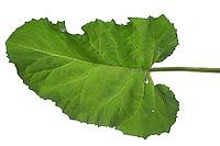 Klettenblatt, Filzige Klette, Filzklette, Wollkopf-Klette, Arctium tomentosum, woolly burdock, downy burdock, Hairy Burdock, la Bardane tomenteuse, poilue. Blatt, Blätter, leaf, leaves