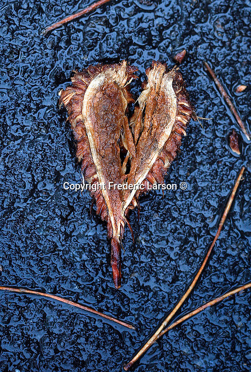 A heart shape piece of bark from a redwood tree lay on some wet pavement in Mill Valley, California.