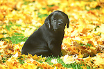 Black labrador puppy in fall leaves.