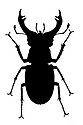 Stag beetle (Lucanus cervus) male silhouette. Museum specimen originating from UK. website